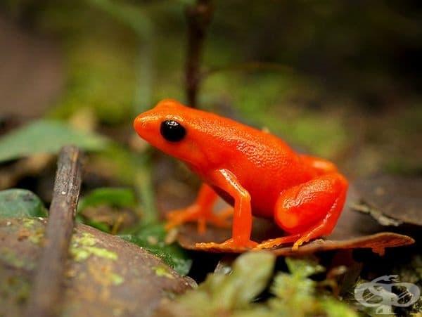 Златна жаба.
