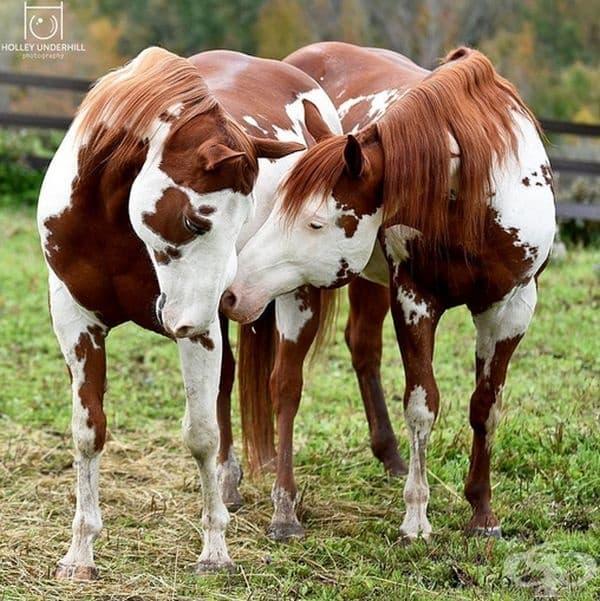 Апалуза, една от най-разнообразната порода коне.