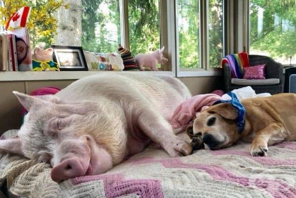 Прасето все още живее в техния дом и дори си има собствено легло.