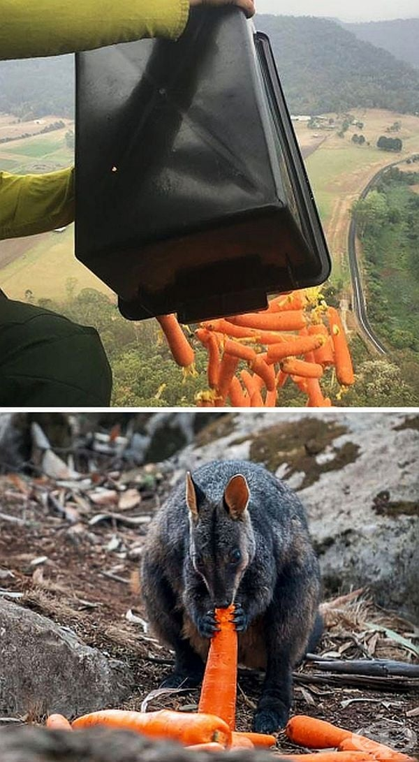 Тонове зеленчуци се пускат от самолети, за да могат да се хранят животните, оцелели в пожарите.