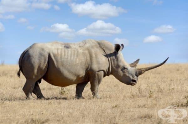 11. Рог от носорог - 110 $ за гр. Въпреки че науката е доказала, че рогът от носорог не притежава лечебни свойства, той все още се счита за ценен поради това свойство. Отделно бракониерите използват роговете за  дръжки на ножове.