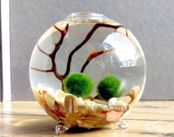 Мъхови топчета Маримо. Малки кръгли водорасли, който абсорбират токсичните нитрати и облагородяват естествена природна среда за водните обитатели.