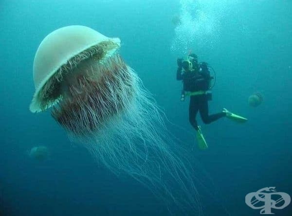 Медуза - Гигантска цианеа.