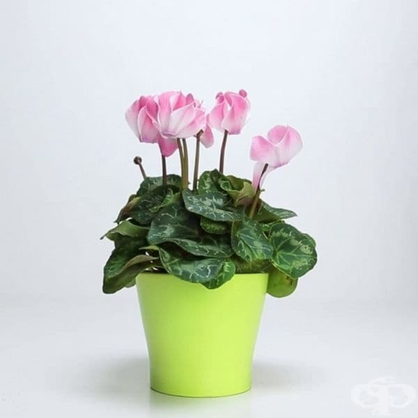 След известно време ще забележите, че любимото ви цвете отново е свежо и кичесто.