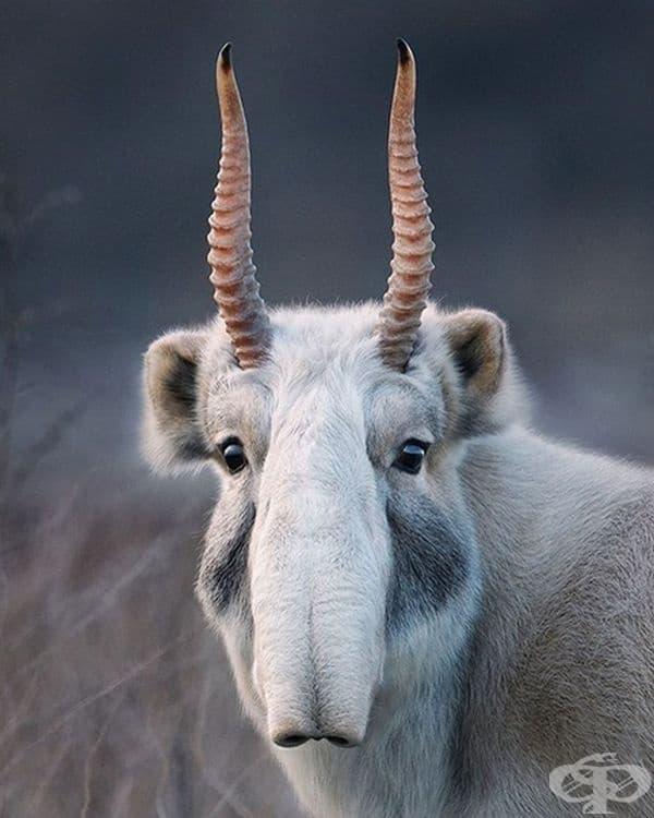 Сайга или степна антилопа. Открива се само в сухите степи на Централна Азия.