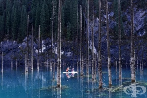 Езерото Кейнди се появява преди 100 години вследствие на няколко земетресения в Казахстан.