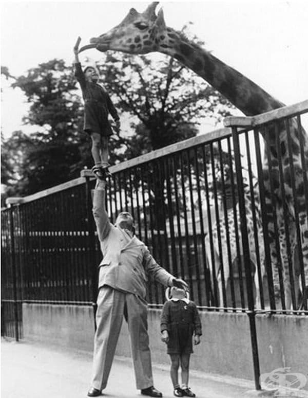 Цирковият артист Пол Ремос повдига сина си с една ръка, за да нахрани жирафа в зоологическа градина, 1940 г.