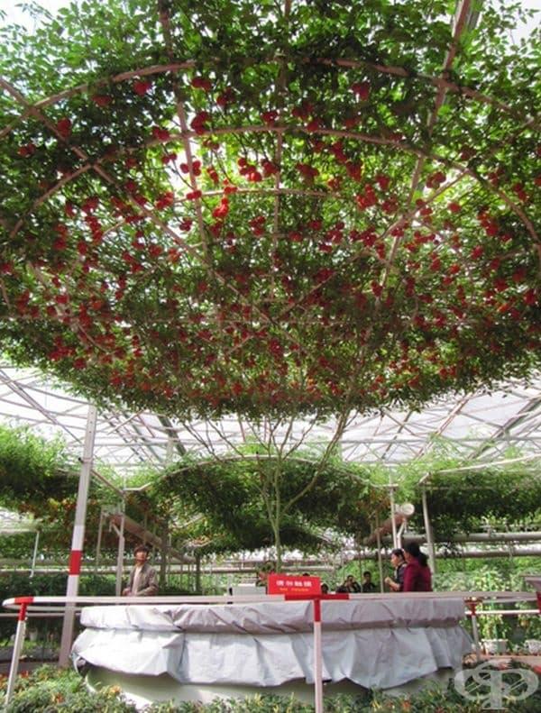 Дори любители могат да отгледат дръвче, което може да произведе до 10 кг домати.