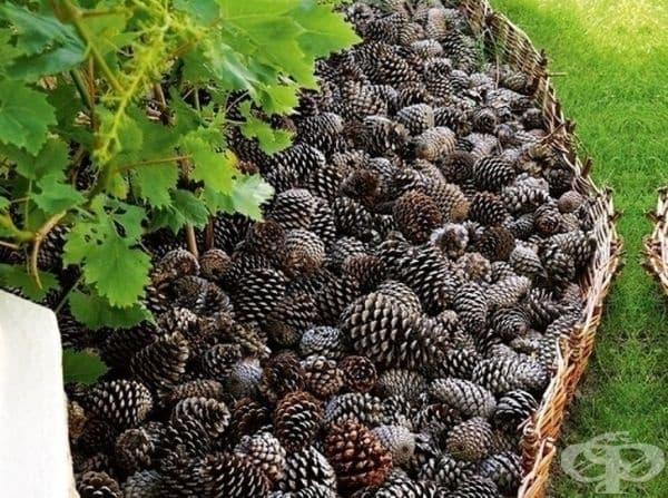 Цветна леха от борови шишарки - тя е не само красива, но и практична, тъй като предпазва цветята от вредители.