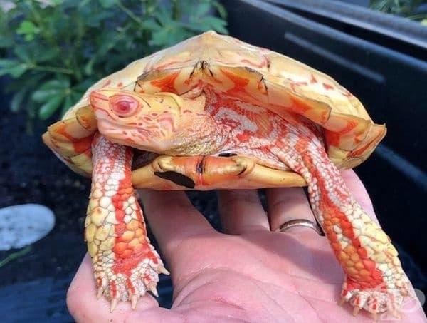 Горските албиноси костенурки не стават напълно бели, цветът им просто избледнява.