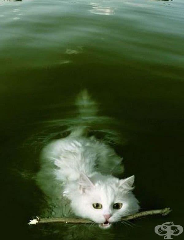 Има порода котки, които обичат водата - Турски ван. Те имат водоустойчива кожа и не се притесняват от водата.