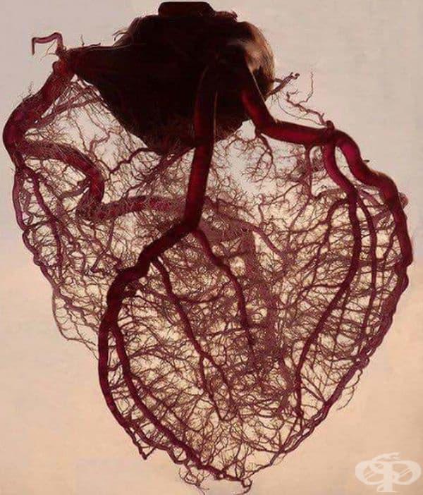 Така изглежда човешкото сърце без мускули и мазнини. Само вени и артерии.