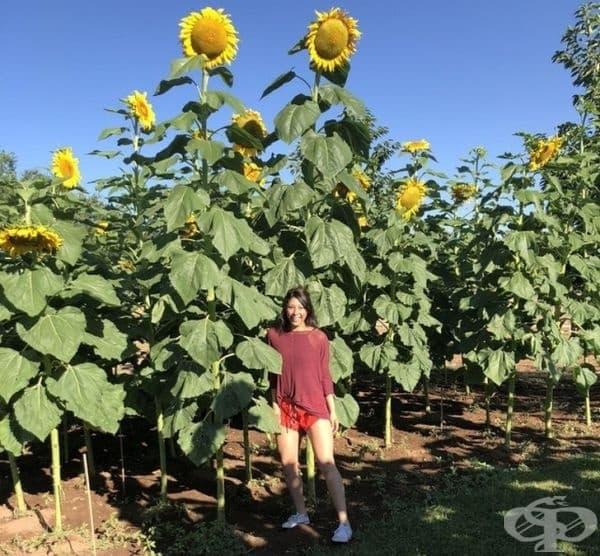 """""""Моята леля намери слънчогледово поле, където почти всяко цвете е два пъти по-високо от нея. Тя е 1.72."""""""