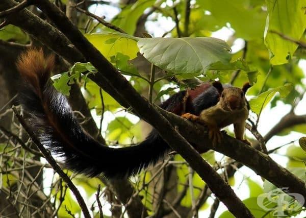 Макар да не се знае много за популацията на гигантската катерица в Малабар техният брой се смята за намаляващ.