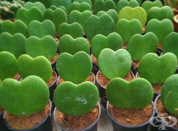 Хоя Керии. Най-романтичният сукулент. Зеленото сърце се нуждае се от минимална грижа и е чудесен подарък за Свети Валентин.