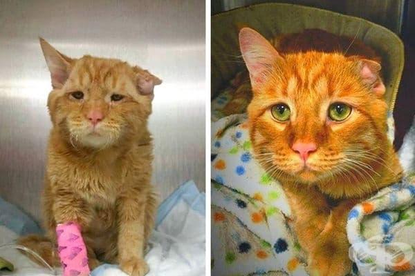 Това е Бен. Той е бил нападнат от куче и е получил сериозни травми. Лекарите са обявили, че няма да проходи и котето е оставено в приют с подготовка за евтаназия. Но се появява семейство, което го осиновява и днес Бен не само ходи, но и бяга свободно.