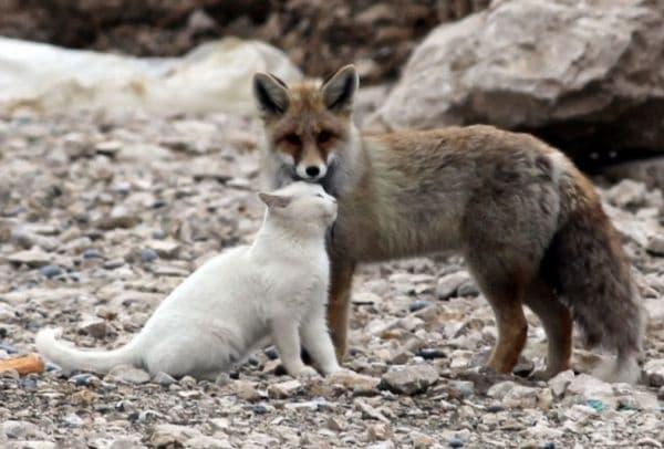 Лисица и котка, които изглеждат страхотно заедно.