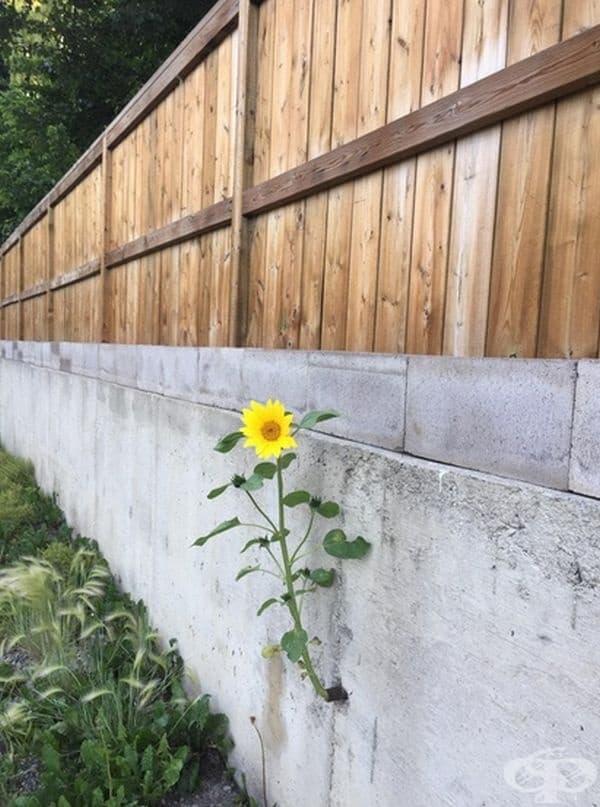 Този слънчоглед расте през дренажна тръба в бетонна стена.