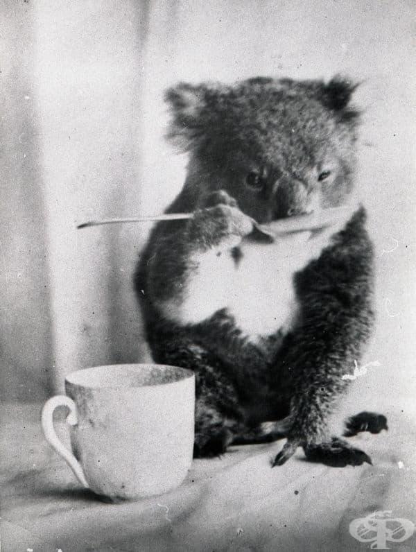 Коала пие от лъжица, Австралия, 1900.
