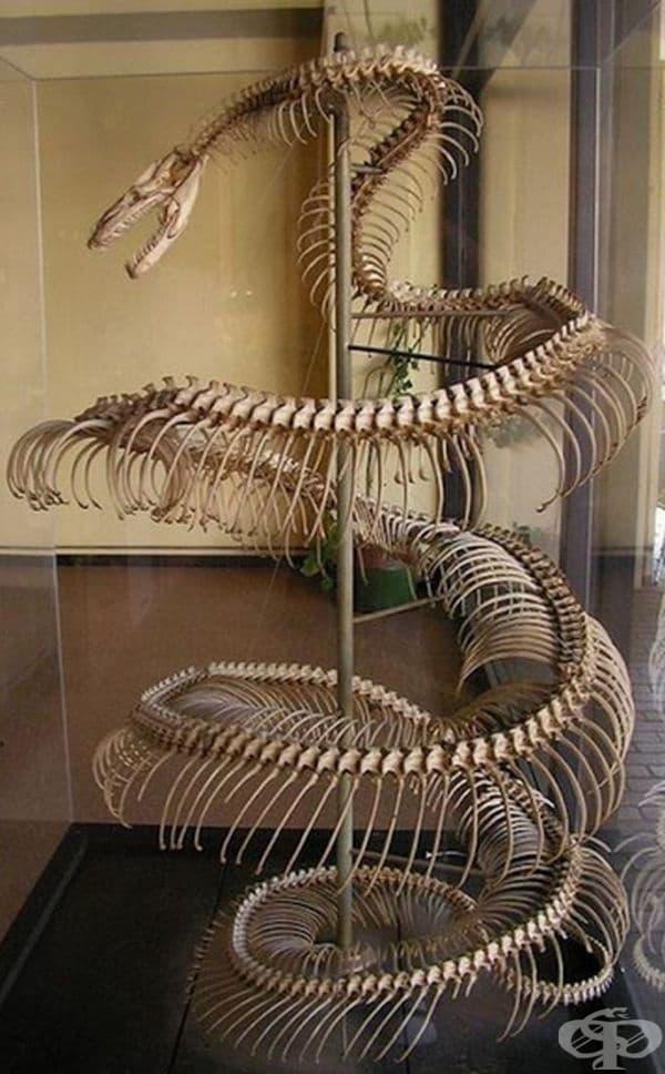 Скелет на анаконда с дължина 8,5 метра.