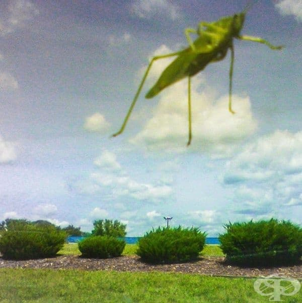 Скакалец, кацнал на предното стъкло на автомобил, създава усещането, че гигантски насекоми нападат Земята.
