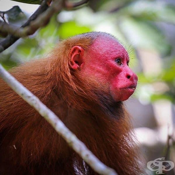 Уакари е вид бозайник от семейство Сакита. Видът е световно застрашен, със статут Уязвим.