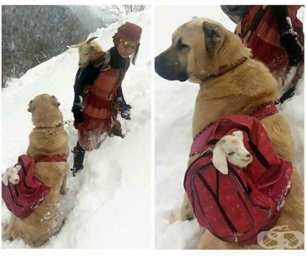 Това момиче и нейното куче спасяват коза и нейното малко.