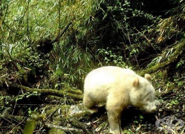 Не, това не е бяла мечка, а панда албинос.
