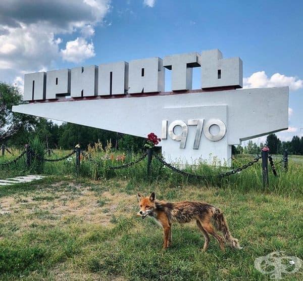 Лисица в Припят.