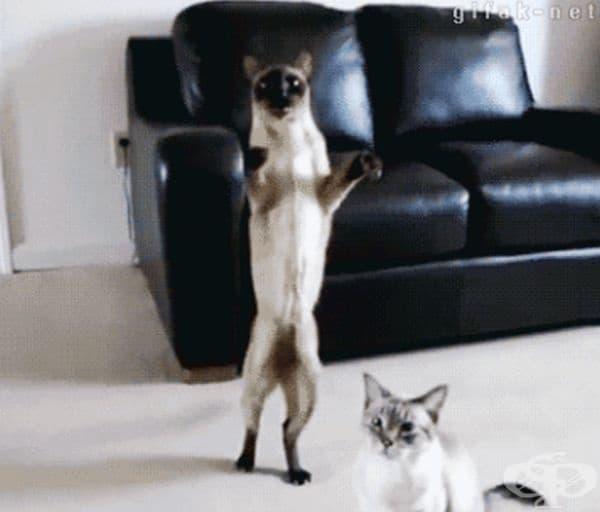 В посолството на Холандия в Москва служителите забелязали, че 2 сиамски котки редовно драскат стените на сградата на едно определено място. Оказало се, че там е имало скрити микрофони на руски шпиони.