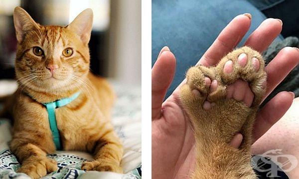 Маршал – котката с допълнителен набор от пръсти, което я прави още по-очарователна - изображение