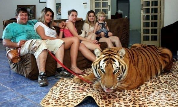 Екологичен факт! В САЩ има повече тигри в частни домове, отколкото в дивата природа. Тъжен, много тъжен факт.