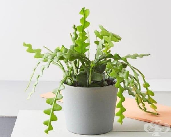 Зиг-Заг Кактус. Интересен и много лесен за отглеждане кактус. Цъфти с малки розови цветенца. Растението е много подходящо за офиси и за декор на всяка стая.