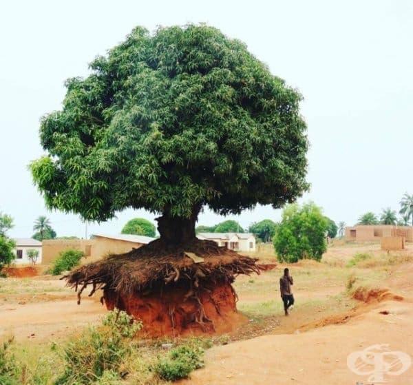 Това дърво в Танзания не му пука за почвената ерозия.