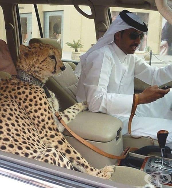 Жителите на Дубай си взимат гепарди вместо котки...