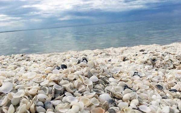 Плажът на раковините, Шарк Бей, Австралия. Водата в тази част е изключително солена, поради което не се виреят никакви хищници. Затова мидите виреят и се размножават спокойно.