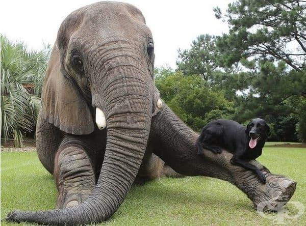 Слонът и кучето са приятели въпреки разликата в размера.