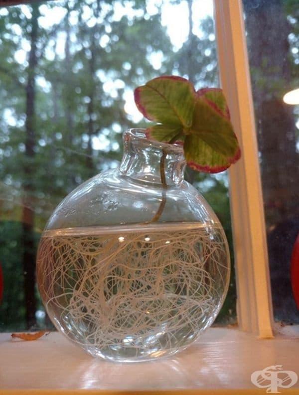 """""""Това е детелина с 5 листа, която, вместо да изсъхне, пусна корени."""""""