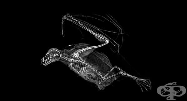 Летяща лисица (вид прилеп)