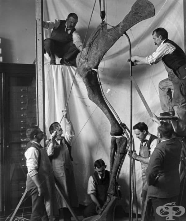 Музеен персонал и археолози сглобяват крак на динозавър, 1912.