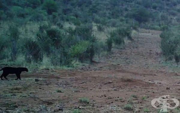 Отпътува за Кения и разпитва местните жители за местата, на които са засичали екзотичното животно.