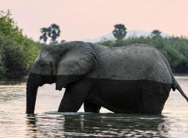 Слон преминаващ през река, пълна с крокодили.