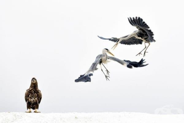 Белоглав орел наблюдава битка между 2 сиви чапли.