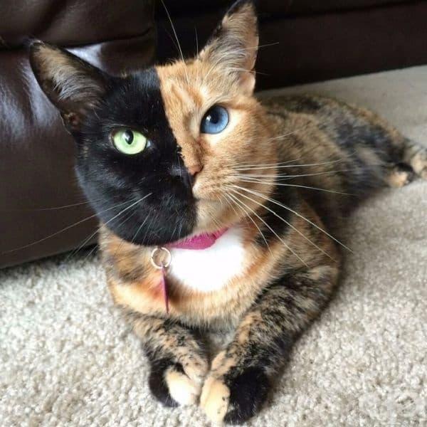 Венера - котката с две лица