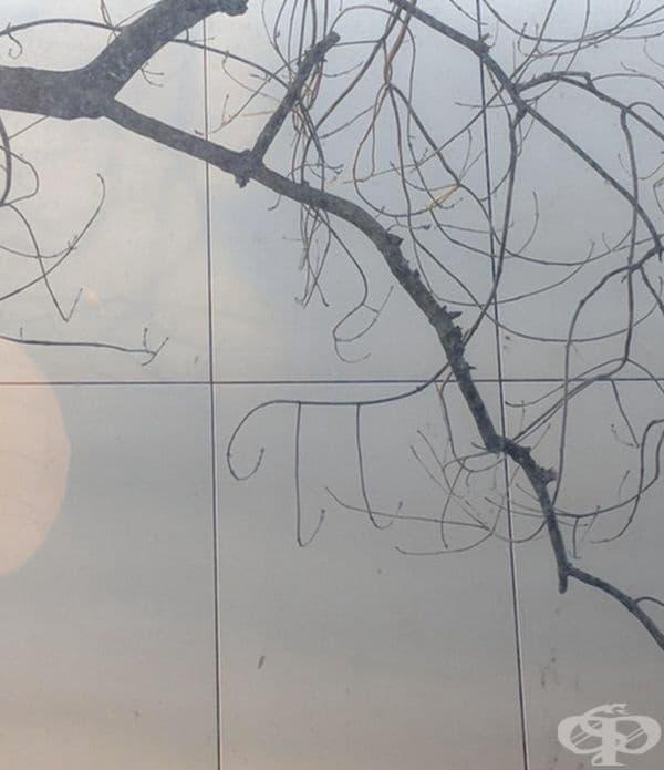 Клоните на това дърво образуват почти съвършен образ на числото Пи.