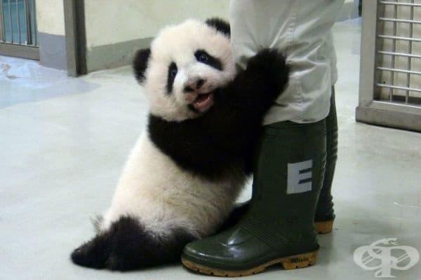 Панда, която е прекалено уплашена, за да остане сама.