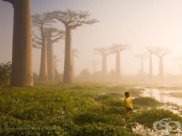 800-годишно дърво Баобаб, Мадагаскар.