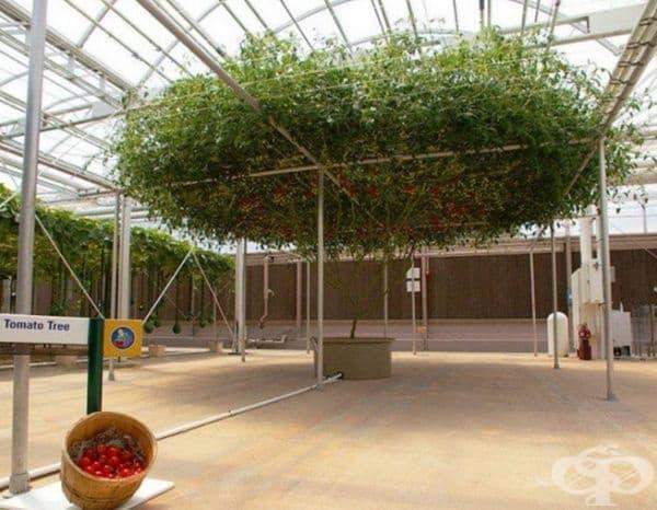 Обикновената почва не е препоръчителна. За тези домати са подходящи изкуствената хранителна среда.