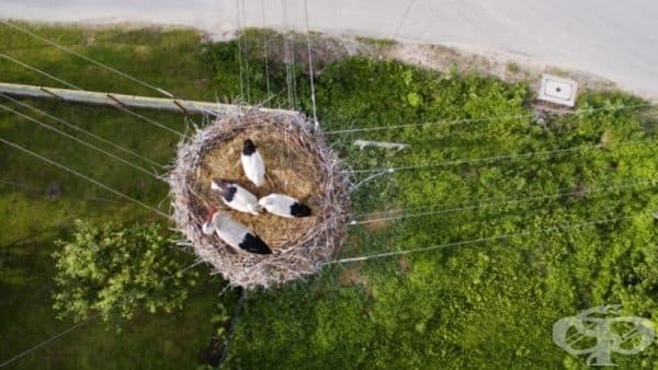 Семейство щъркели в своето гнездо върху електрически стълб, Полша.