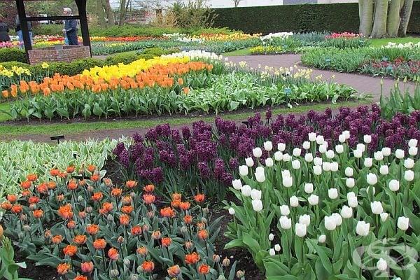 """Освен лалета, в """"Койкенхоф"""" има зюмбюли, минзухари и много други цветя."""